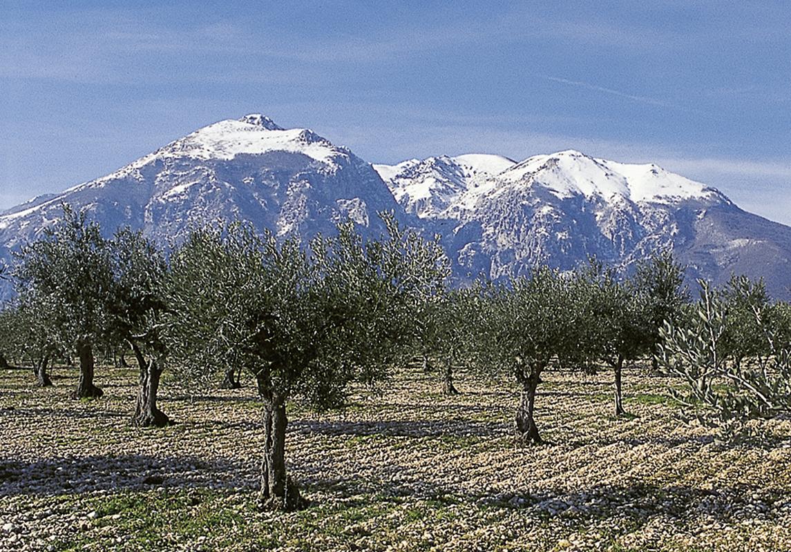 Trattare gli ulivi come viti