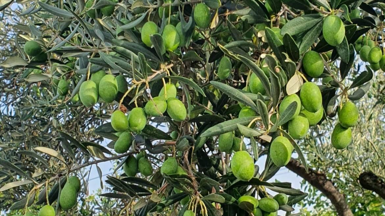 Nuova campagna olivicola